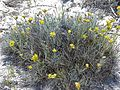 CSIRO ScienceImage 11316 Wildflowers on Rottnest Island Western Australia.jpg