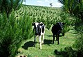 CSIRO ScienceImage 1395 Cows.jpg
