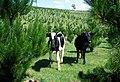 CSIRO ScienceImage 1395 Cows.jpg