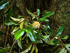 CSIRO ScienceImage 7626 Leaves and flowers of Galbulimima baccata.jpg