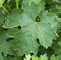 Cab sauvignon leaf.JPG