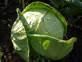 Cabbage, cultivar unknown