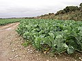 Cabbages - geograph.org.uk - 346556.jpg