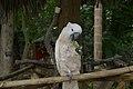 Cacatua moluccensis -Ardastra Zoo -Bahamas-8b.jpg