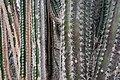 Cactus plants detail (Bonaire 2014) (15692458745).jpg