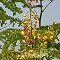 Caesalpinia sappan (Sappan wood) W2 IMG 3339.jpg