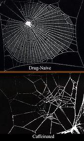 La toile d'araignée sous caféine (Wikipedia)
