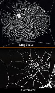 Nella parte superiore dell'immagine, una normale ragnatela. Sotto, una ragnatela costruita da un ragno a cui è stata somministrata della caffeina.