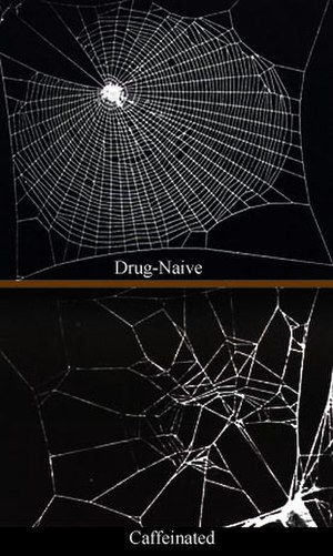 Drug-naïve - An image comparing the web of a drug-naïve spider to that of a spider having been given caffeine.