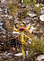 Caladenia lobata - cropped.jpg