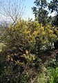 Calicotome villosa kz1.jpg