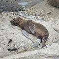 California Sea Lion (48475578746).jpg