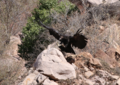 California condor chick -871 lands near the Devils Gate nest. (39525931451).png