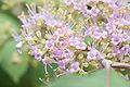 Callicarpa cathayana floraison.jpg