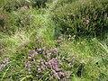 Calluna vulgaris. Grug. Ling. Common Heather - geograph.org.uk - 499704.jpg