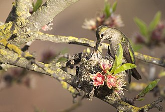 Anna's hummingbird - Two nestlings are fed by a female hummingbird.