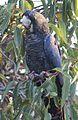 Calyptorhynchus banksii 2011.jpg