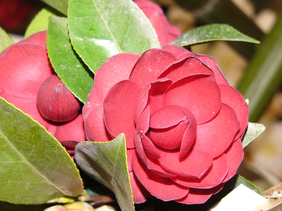 Camellia Wiktionary