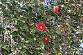 Camellia japonica s2.jpg