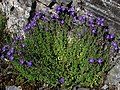 Campanula arvatica subsp adsurgens mata (14801724701).jpg
