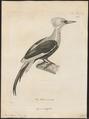 Campephilus sumptuosus - vervalsing - 1700-1880 - Print - Iconographia Zoologica - Special Collections University of Amsterdam - UBA01 IZ18700133.tif