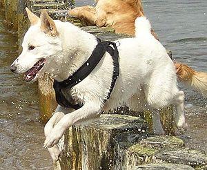 Canaan Dog - Canaan Dog jumping