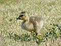Canada Geese (27858308488).jpg