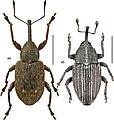 Canadian beetles (10.3897-zookeys.894.37862) Figures 44, 45.jpg