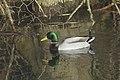 Canard colvert (Anas platyrhynchos) - 5993.jpg