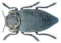 Capnodis tenebrionis (Linnaeus, 1758).png