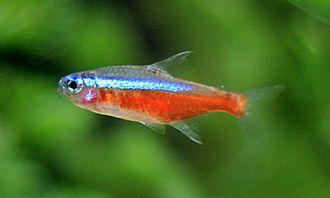 Herbert R. Axelrod - The cardinal tetra, Paracheirodon axelrodi, was named for Axelrod.