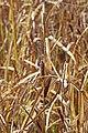 Carex aquatilis inflorescens (13).jpg