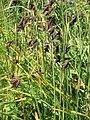 Carex atrata01.jpg