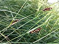 Carex melanostachya sl11.jpg