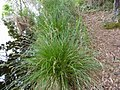 Carex paniculata plant 04).jpg