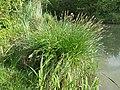 Carex paniculata sl7.jpg