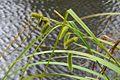 Carex pseudocyperus (7344616782).jpg