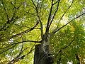 Carpinus betulus (9).JPG