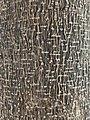 Casimiroa edulis (Rutaceae) - Bark.jpg