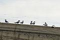 Caspain Terns, Dungeness NWR - 3347754976.jpg