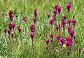 Castilleja lemmonii meadow paintbrush group.jpg
