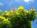 CatalpaSpeciosa01 gobeirne.jpg