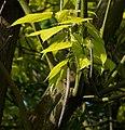 Catalpa bignonioides Aurea C.jpg