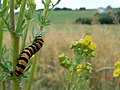 Caterpillar of Cinnabar Moth - geograph.org.uk - 888789.jpg