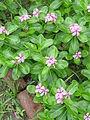 Catharanthus roseus - Kolkata 2004-07-13 01752.JPG