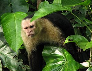 White faced capuchin This guy was a little bit...