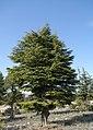 Cedrus libani - Lebanon cedar 03.jpg