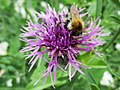 Centaurea scabiosa and a bee.jpg