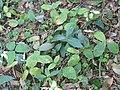 Centrosema pubescens (DITSL).JPG