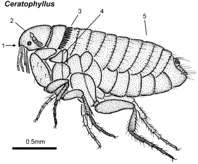 Ceratophyllus female lateral.png